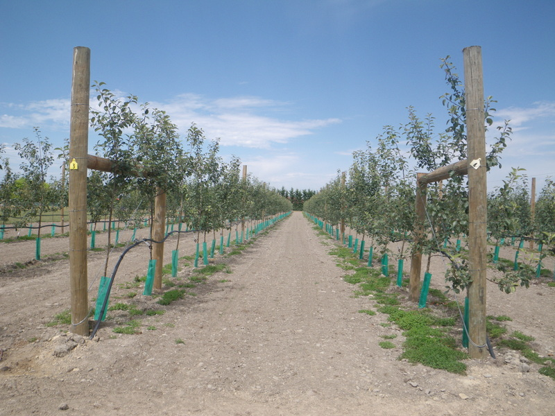 Honeycrisp Field