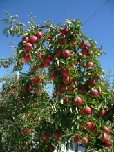 Koru(R) Plumac c.v. tree @ Wairepo Orchards