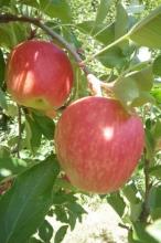Apple-Gilmac 700x467