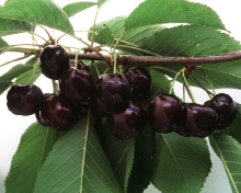 Cherry-Cristalina