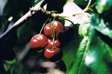 Cherry-NY270 700x467