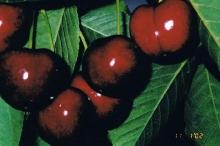 Cherry-Romance 700x467