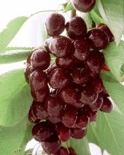 Cherry-Santina