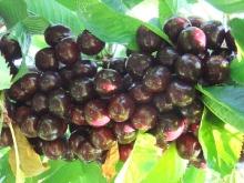 Cherry-Sentennial