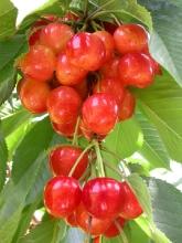 Cherry-Stardust