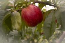 Nectarine-Redgold 700x467