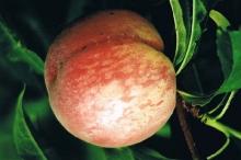 Peach-Albas 700x467