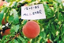 Peach-Allstar 700x467