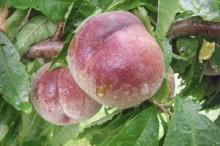 Peach-Blackboy 700x467