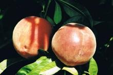 Peach-BlazingStar 700x467