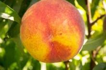 Peach-ElegantLady 700x467