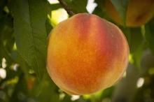 Peach-GlowingStar2 700x467