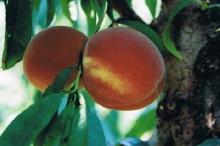 Peach-Romestar 700x467