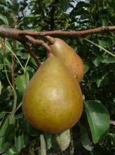 Pear-PierreCornielle 700x467