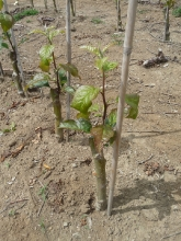 Budded apple tree and growth, early spring 2012