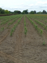 Field of Geneva® 202 rootstocks spring 2012