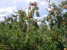 KORU® Plumac c.v. Wairepo Orchards 2011
